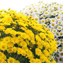 Bon mardi matin Chrysantheme-41c8a8b