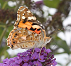 Les lépidoptères (papillons)